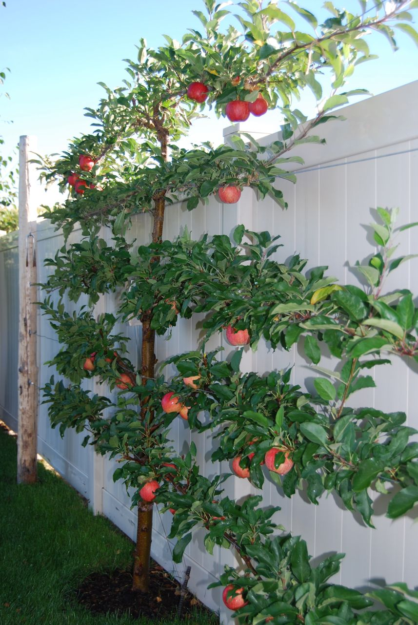 apple espalier igardendaily. Black Bedroom Furniture Sets. Home Design Ideas