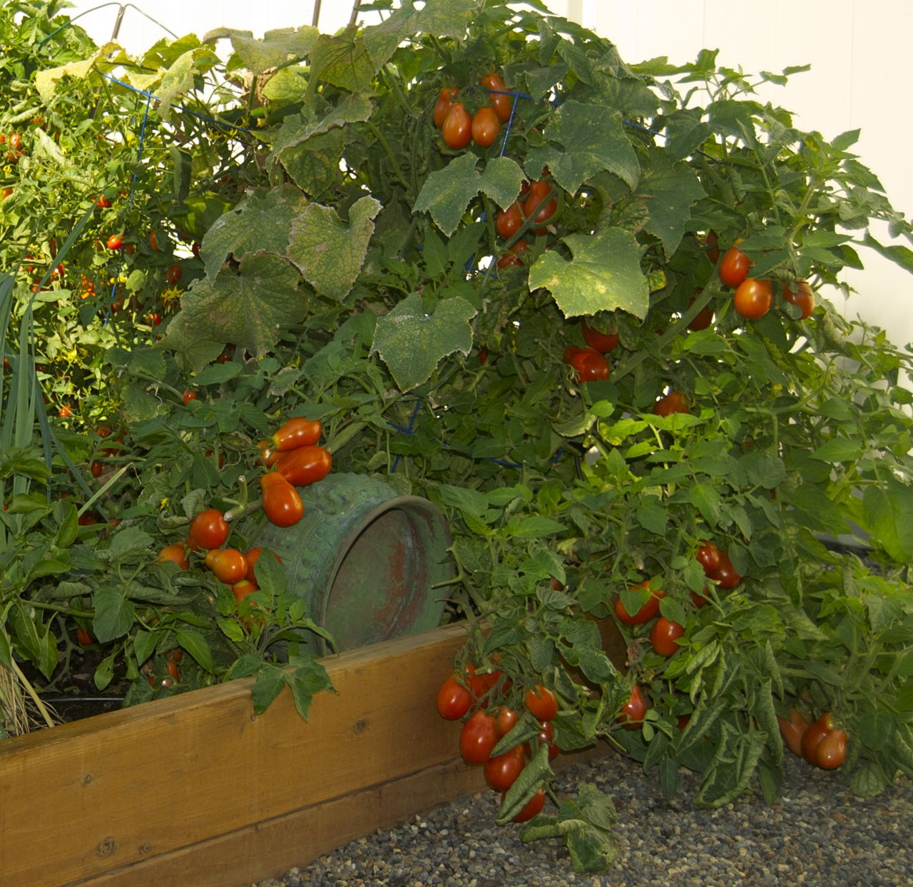 tasty, ripe, homegrown tomatoes… a force to be dealt with, Natural flower