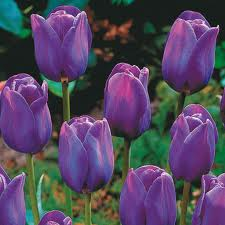 Tulip 'Purple Prince'