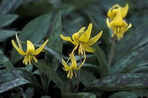 320px-Trout_lily_plant_erythronium_americanum_with_yellow_flowers_and_dark_green_leaves
