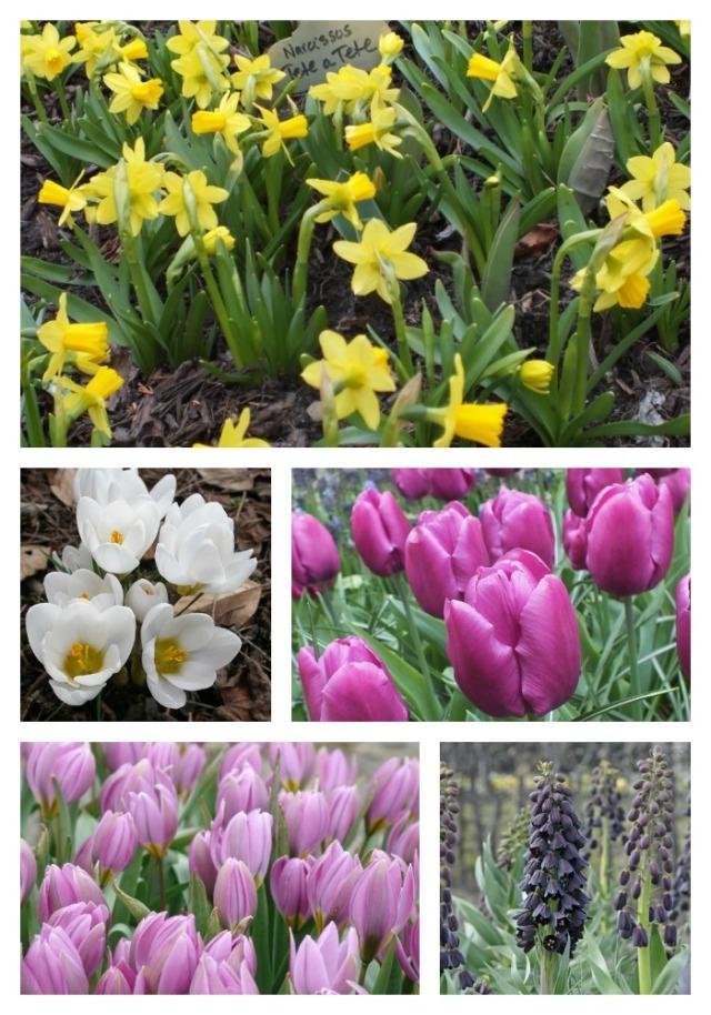 Clockwise starting from bottom left; Tulip humbles 'Magenta Queen', Crocus 'Ard Shenk', Narcissus 'Tete A Tete', Tulip 'Purple Prince', Fritillaria persica