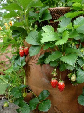 Strawberry DSC02834.JPG