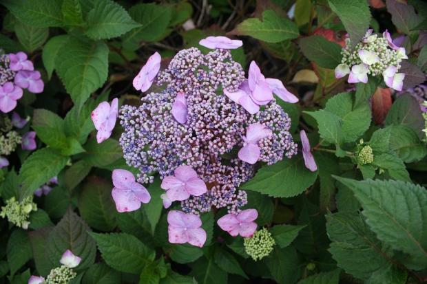 Hydrangea Twist and Shout (3) r_full