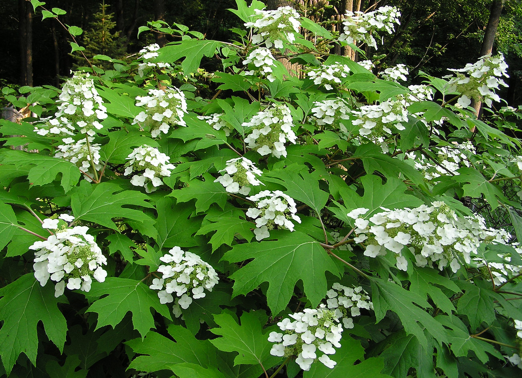 Growing hydrangeas in the intermountain west igardendaily for Hydrangea quercifolia