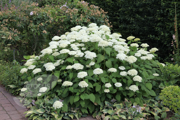 growing hydrangeas in the intermountain west igardendaily. Black Bedroom Furniture Sets. Home Design Ideas